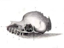 Bunyip_skull.jpg